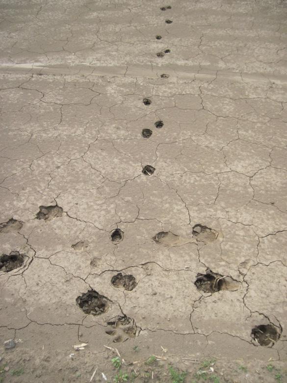 中矢作で発見した動物の足跡