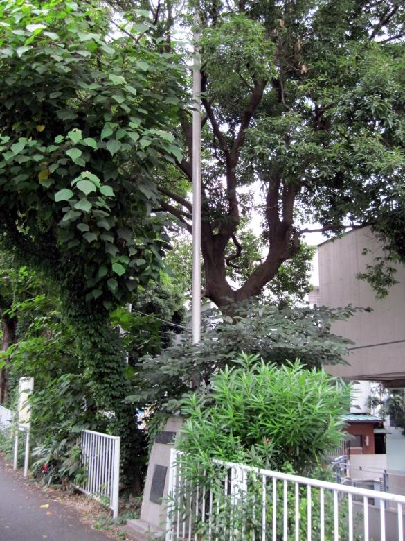 木に絡みつかれた国旗掲揚塔