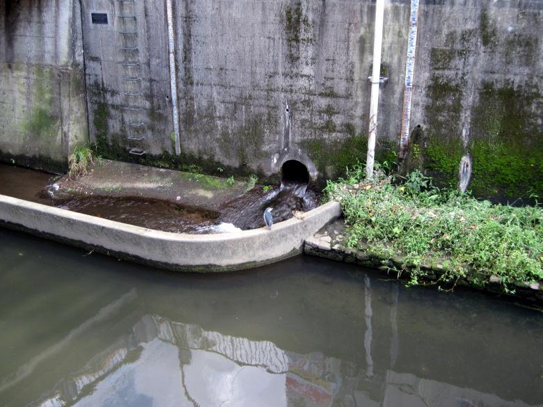 佃橋のたもとにゴイサギを発見
