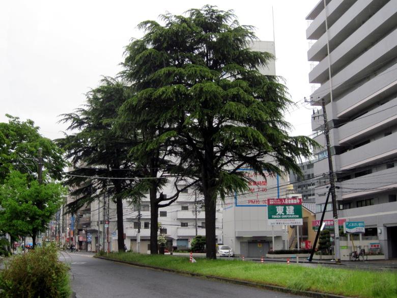 国道14号線の中央にある大木