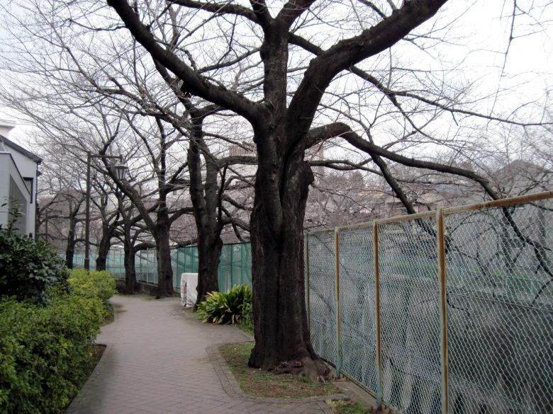 石神井川沿いの桜並木