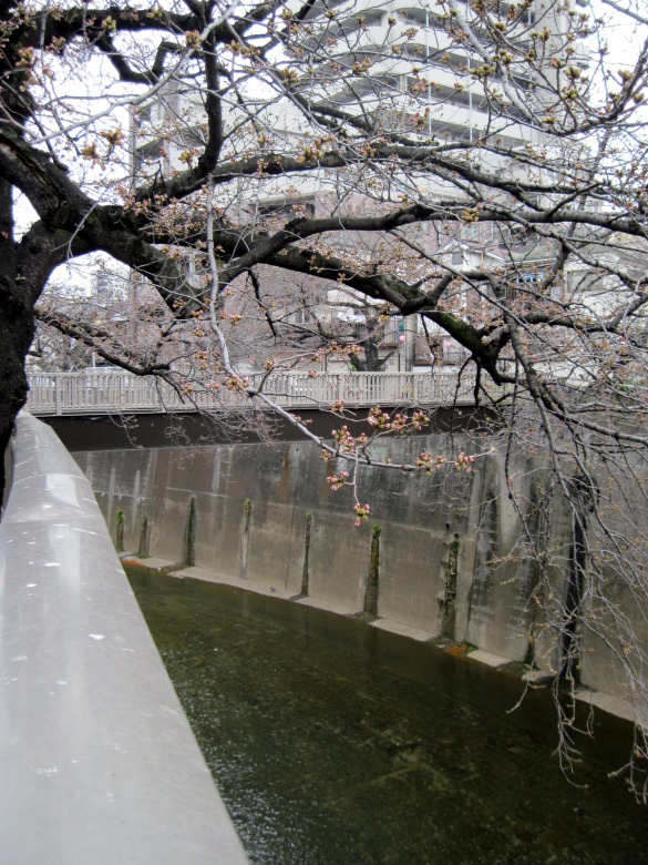 蕾の桜と石神井川