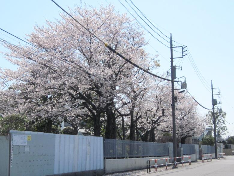 みやぎ水再生センターの桜