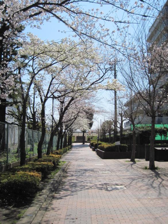 小台公園付近の桜