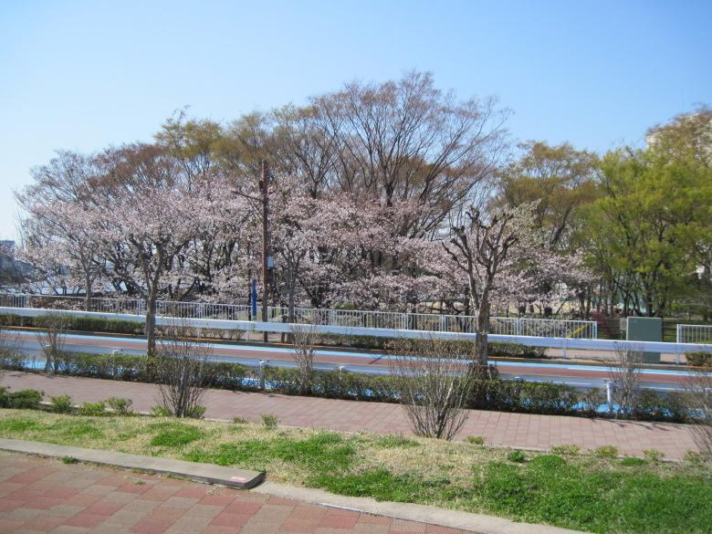 尾竹橋通り付近の桜