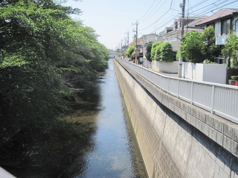 石神井川左岸の桜