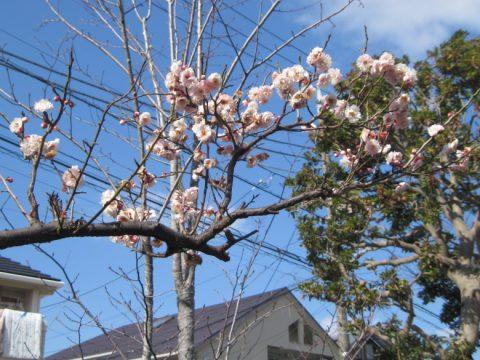古川親水公園の梅の花