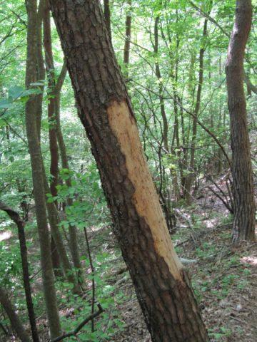 皮が剥がされた木