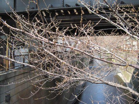 日乃出橋から見た桜の枝