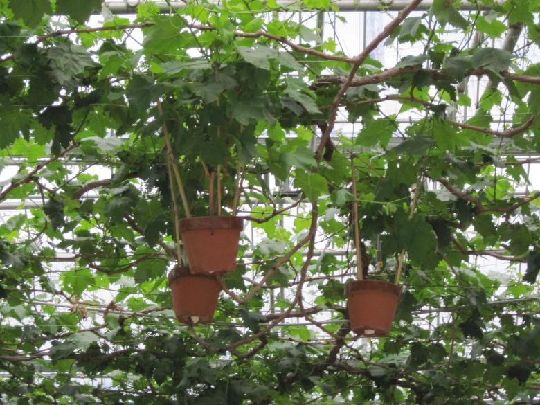 鉢植えブドウの栽培