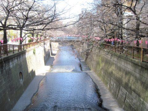 大橋から見た目黒川の桜の状況