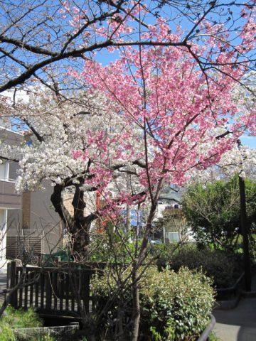 早咲きの紅白の桜