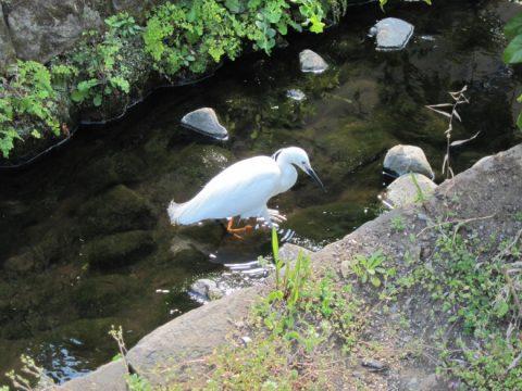 白鷺(コサギ)