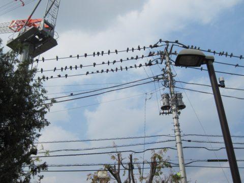 鳩が異様に沢山停まっている電線