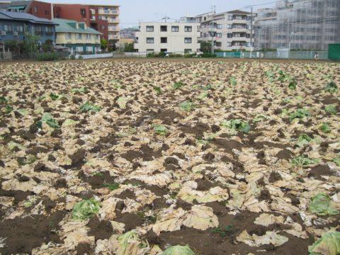 世田谷区のキャベツ畑