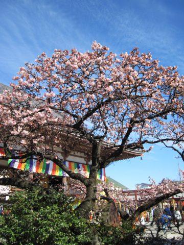 (珍樹)寒桜