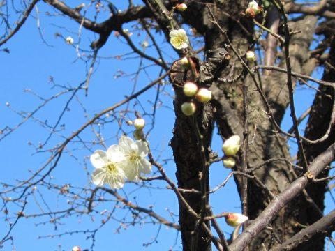咲き始めの梅の花